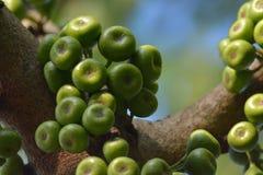 Fruto de árvore do figo Imagem de Stock Royalty Free