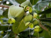 Fruto de árvore do veneno do mar em sua árvore fotos de stock royalty free
