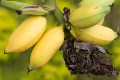 Fruto de árvore novo dos cocos delicioso Fotos de Stock Royalty Free