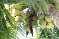 fruto de árvore novo dos cocos na praia Fotos de Stock Royalty Free