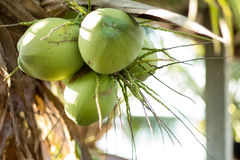 Fruto de árvore novo verde do coco Fotografia de Stock