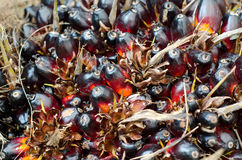 Fruto de óleo da palma Imagem de Stock