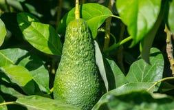 Fruto de abacate na folha verde Fotos de Stock