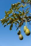 Fruto de abacate no ramo cercado com folhas Fotografia de Stock Royalty Free