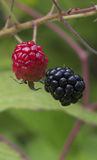 Fruto de Blackberry Fotos de Stock Royalty Free