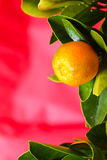 Fruto de Calamondin no fundo cor-de-rosa Foto de Stock Royalty Free