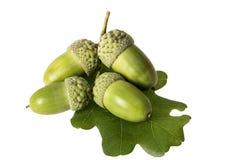 Fruto de carvalho do outono, bolotas, isoladas no fundo branco fotografia de stock royalty free