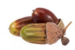 Fruto de carvalho do outono, bolotas, isoladas no fundo branco Imagem de Stock