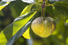 Fruto de Chalta, Mahe, Seychelles Imagem de Stock