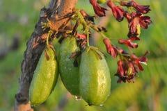 Fruto de estrela - verde Imagens de Stock