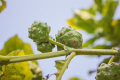 Fruto de Noni na árvore Foto de Stock Royalty Free