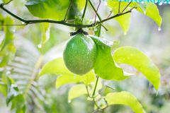 Fruto de paixão em uma árvore fotos de stock