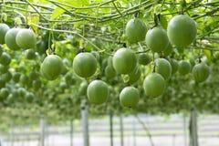 Fruto de paixão na árvore na exploração agrícola do fruto de paixão fotografia de stock