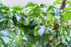 Fruto de paixão na árvore no jardim fotos de stock