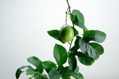 Fruto de paixão verde com folhas da videira Imagens de Stock Royalty Free