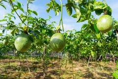 Fruto de paixão verde, planta comestível na exploração agrícola fotografia de stock royalty free