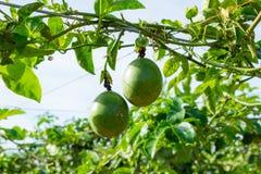 Fruto de paixão verde, planta comestível na parte 2 da exploração agrícola imagem de stock royalty free
