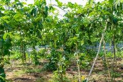 Fruto de paixão verde, planta comestível na parte 3 da exploração agrícola fotografia de stock royalty free