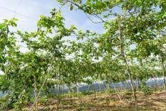 Fruto de paixão verde, planta comestível na parte 4 da exploração agrícola fotografia de stock