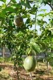 Fruto de paixão verde, planta comestível na parte 5 da exploração agrícola fotografia de stock