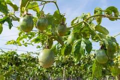 Fruto de paixão verde, planta comestível na parte 6 da exploração agrícola foto de stock