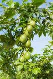 Fruto de paixão verde, planta comestível na parte 7 da exploração agrícola imagem de stock royalty free