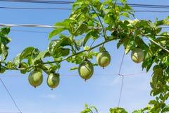 Fruto de paixão verde, planta comestível na parte 8 da exploração agrícola imagem de stock royalty free