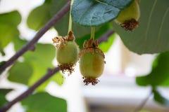 Fruto de quivi do fruto que pendura de uma árvore Foto de Stock Royalty Free