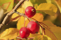 Fruto de árvore do Chokecherry Foto de Stock Royalty Free