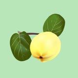 Fruto de um marmelo comum Foto de Stock Royalty Free