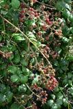 Fruto denso da amora-preta imagem de stock