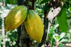 Fruto do cacau em Bali fotografia de stock royalty free