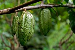 Fruto do cacau em Bali Imagens de Stock Royalty Free