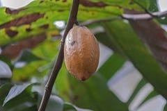 Fruto do cacau em uma árvore imagens de stock royalty free
