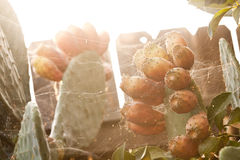 Fruto do cacto do Opuntia Fotos de Stock Royalty Free