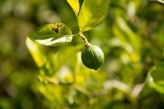 Fruto do cal que pendura em uma limeira Imagem de Stock