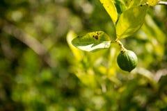 Fruto do cal que pendura em uma limeira Foto de Stock