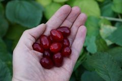 Fruto do corniso vermelho em uma palma aberta Fotografia de Stock Royalty Free