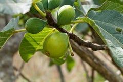 Fruto do figo Fotografia de Stock