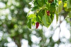 Fruto do figo sagrado Fotografia de Stock
