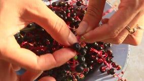 Fruto do ginsém da colheita vídeos de arquivo