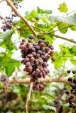 Fruto do grupo da uva no vinhedo Foto de Stock Royalty Free