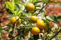 Fruto do Kumquat ou de japonica do citrino polegar Foto de Stock Royalty Free