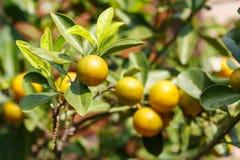 Fruto do Kumquat ou de japonica do citrino polegar Fotografia de Stock Royalty Free