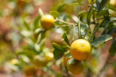 Fruto do Kumquat ou de japonica do citrino polegar Fotografia de Stock