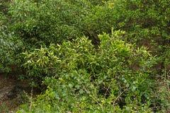 Fruto do limão em um ramo de árvore entre vários plantas e arbustos Fotos de Stock