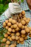 Fruto do Longan Imagem de Stock Royalty Free