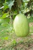 Fruto do melão de inverno Imagens de Stock