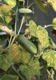 Fruto do pepino na planta no outono Fotos de Stock