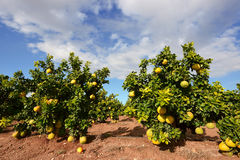 Fruto do Pomelo na árvore Imagens de Stock Royalty Free